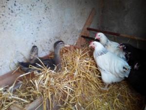 nos poules et canards arrrivent
